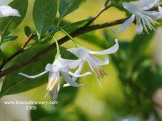 BlueBell Nursery - BlueBell Nursery - Trees & Shrubs - Styrax - Styrax americanus