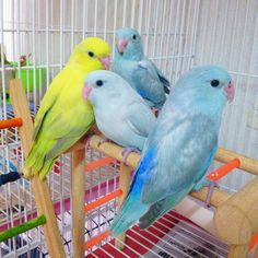 Pacific parrotlet forpus family