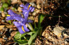 Wilde irissen groeien en bloeien overal in januari