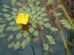 Ludwigia Sedoides floare