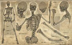 Feng Zhu Design: Human Skeleton