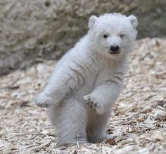 PsBattle: This standing baby polar bear : photoshopbattles
