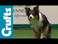 Flyball | First Quarter Final | Crufts 2014 - YouTube
