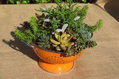Succulents in orange colander. LaurasLittleGardens.com