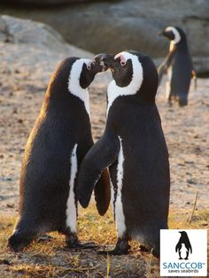African Penguins @ Stony Point Betty's Bay