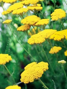 """Yarrow (Achillea) Zones 3-8 """"Yarrow has long been one of our fav plants because of its strong architectural feel, long bloom time, low water needs and attractive, feathery foliage. There are many varieties, including ones in pink, red, coral and white, but our favorite is still the bold yellow """"Coronation Gold'. Grows to 3 feet, is a great cut and dried flower, and brightens up any garden. Blooms all summer, full sun. Very easy to grow."""""""