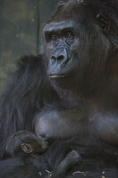 Lincoln Park Zoo's New Endagered Baby Gorilla Settles In