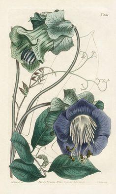 William Curtis Botanical Prints 1787-1826