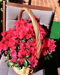 Celebra la #primavera con @cestashome!! Prepara con #cestasdemimbre o #cestasdecastaño tu #terraza o #jardín para disfrutar muchas horas de sol. La #primavera ya está aquí y con #cestasyflores conseguirás resultados tan alegres como esta #cestademimbreredonda con #azaleas. Elige #cestasartesanales. Compra #unacestadecestashome. #cestasdecalidad #cestasartesanales #calidadcestasdeespaña #cestaartesanal #cestasyplantas #cestanacional #cestadecalidad