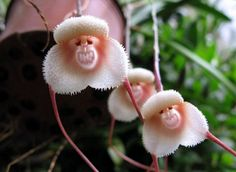 10 PCS Monkey Face Orchid Seeds Red Cream Potted Peru Flower seeds *UK SELLER*