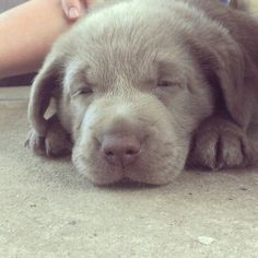 Silver lab puppy, Luna Silver Lab Puppies, Silver Labrador, Silver Labs, Teddy Bear Dog, Bear Dogs, Cute Puppies, Dogs And Puppies, Baby Animals, Cute Animals