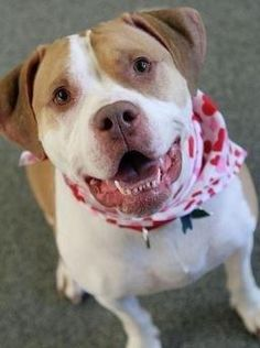 Meet Lola, a Petfinder adoptable Pit Bull Terrier Dog | Bedford, NH | Hi my name is Lola. I am a 4 year old spayed female. I am an easy going friendly girl looking for a...