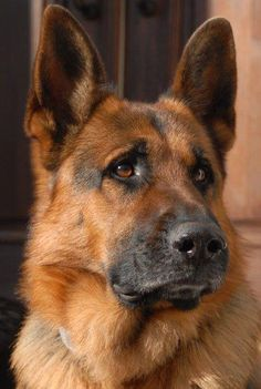 German Shepherd - Beautiful!