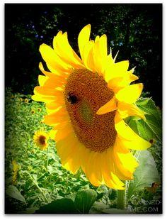 Sunflowers - Poolesville MD