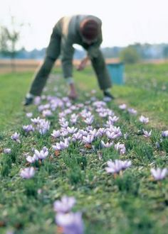 growing saffron crocus they say it grows in zone 5, but blooms in october it would be risky but worth the wait if the snow doesn't fly too early