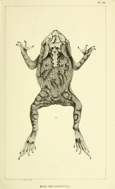 Catalogue of the Batrachia Salientia and Apoda (frogs, toads, and cœcilians) of southern India / - Biodiversity Heritage Library