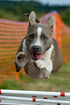 American Pit Bull, by Steve Collins.  I dare ya not to love this photo!