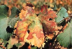 scorch: any symptom that suggests the action of flame or fire on the affected part, often seen at the margins of leaves (grape infected by Xyllela fastidiosa, a xylem-limited fastidious bacterium)