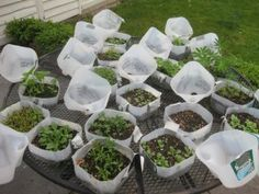 "One pinner said "" BELIEVE IT OR NOT, I start my summer garden in December and January, using a neat trick called ""Winter-Sowing."" Winter-sowing is an outdoor method of seed germination (invented by Trudi Davidoff) which requires just two things: miniature greenhouses (made from recycled milk jugs) and Mother Nature. You can winter-sow your way to a beautiful garden, too…for pennies. Here's how: Food Photography Tips, Gardening Tips, Plants, Ideas, Plant, Thoughts, Planets"