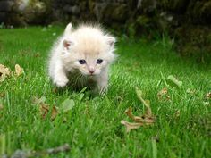 A small orange and white kitten exploring in the grass.