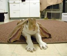 Fancy floppy ears. Bunny plays the invisible piano