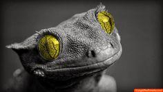 Lagarto Ojos Amarillos