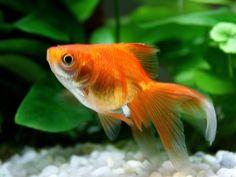 Peixinho Dourado Bonito