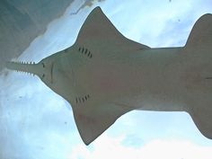 The Sawfish Weird Rare  Deadly  Lazer Horse