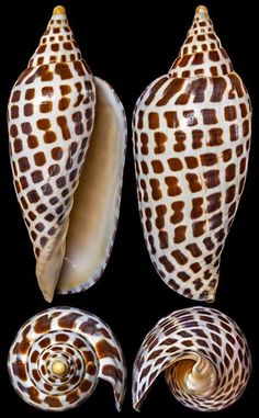 Scaphella junonia (Lamarck, 1804...This is the most sought after shell on Sanibel Island,and one of the hardest to find.