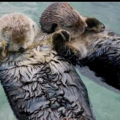 river otters hold hands when sleeping so they don't lose either other
