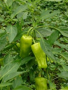 The Stavros Greek pepperoncini is considered by many to be the finest Pepperoncini available. A Greek heirloom, sweet, with just a touch of spice. Pepperoncini Peppers, Capsicum Annuum, Home Grown Vegetables, Growing Seeds, Organic Fruit, Amazing Gardens, Bonsai, Greek, Stuffed Peppers