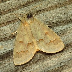 A birch dagger moth (Acronicta betulae) that showed up by my porch light late last month. This is a new genus and species for the yard. ID by Hugh McGuinness.