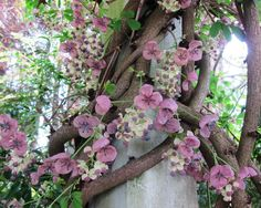 Akebia quinata Chocolate Vine Lardizabalaceae - Bellevue Botanical Garden. I believe this is Akebia Quinata cream form or akebia-silver-bells-chocolate-vine