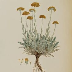 Egyptian Yarrow, Achillea aegyptiaca. One of the parents of Achillea 'Moonshine' and numerous other Yarrow hybrids (1837).
