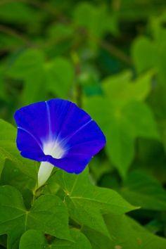 「青い朝顔青い朝顔」のフリー写真素材を拡大