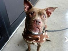 TO BE DESTROYED TODAY 1/30/14 @ NOON! Manhattan Center -P My name is PIGTAILS. My Animal ID # is A0989894. I am a female brown pit bull mix. The shelter thinks I am about 1 YEAR. Miss Pigtails has some boxer in her lineage, and has that sweet little give away underbite to show for it. https://www.facebook.com/photo.php?fbid=745600512119497&set=a.611290788883804.1073741851.152876678058553&type=3&permPage=1