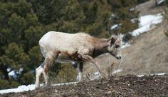 Big Sky Bighorn Sheep