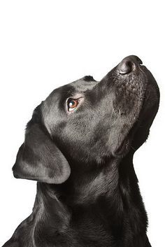 The dog black labrador looks upwards. isolated on white.. would love a picture of Molly like this