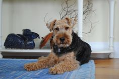 Welsh terrier - Max relaxing by the front door. Such a handsome Welshie! Welsh Terrier, Terriers, Handsome, Dogs, Terrier, Doggies, Boston Terriers, Pet Dogs, Dog