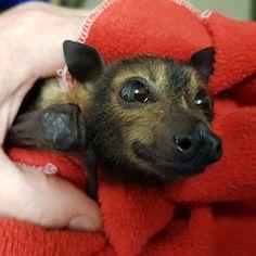 Flying Fox Fruit Bat baby