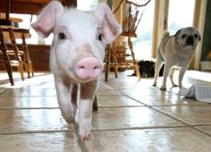 We seriously want to cuddle with this sweet rescued piglet from Snooters Farm Animal Sanctuary!