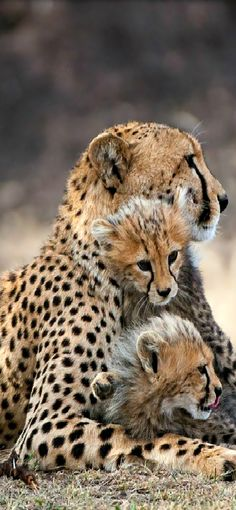 Motherly love. Cheetahs. Cheetah cubs. Safari. Wildest africa. Wildlife photography. Out of africa. Cheetah photography. Out in the wild.