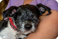 ****SPECIAL NEEDS*** Phoenix, AZ - Terrier (Unknown Type, Small) Mix. Meet Oliver, a dog for adoption. Due to an attack by his kennel mates at the shelter before he came to rescue, he does not have eyes. Although he is blind he navigates very well and has a sweet, trusting personality. http://www.adoptapet.com/pet/12404984-phoenix-arizona-terrier-unknown-type-small-mix