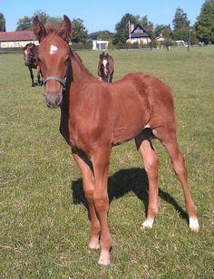Zackery H - e. BH Zack / Solos Landtinus   #Stutteri #horses #Heste #fyn #fynskeheste #føl #plage