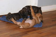 1, 2, 3, ... your out! ~ Cane Corso pups wrestling at Amell Rottweilers in NC. - www.amellrottweilers.com
