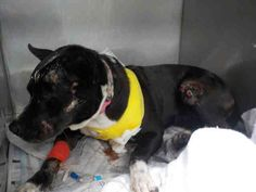 CODE RED!!! A1646627 I am a female black and white Terrier mix.  The shelter staff think I am about 4 years old and I weigh 44 pounds.  I was found as a stray and I may be available for adoption on 09/28/2014. — hier: Miami Dade County Animal Services. https://www.facebook.com/urgentdogsofmiami/photos/pb.191859757515102.-2207520000.1411432418./844233448944393/?type=3&theater