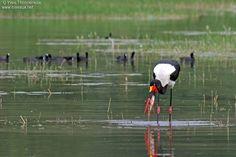 Saddle-billed Stork - Ephippiorhynchus senegalensis