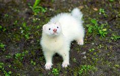 15 weeks old ferret
