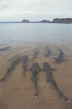 White-tipped Reef Sharks come to shallow waters to mate, Galapagos Islands, Ecuador