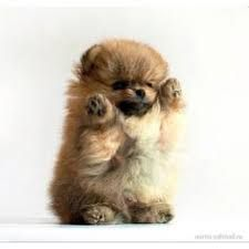 Image result for the cutest baby pomeranians